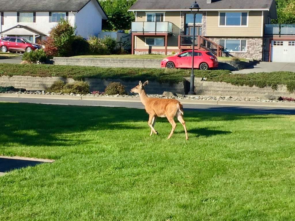 August, 2020 - Campbell River, Vancouver Island, British Columbia - Deer along my morning run