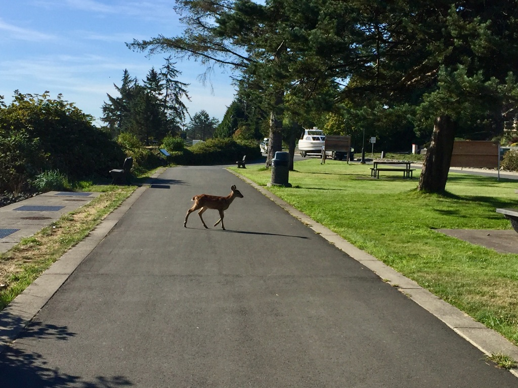 August, 2020 - Campbell River, Vancouver Island, British Columbia - Deer along my morning run - Babies joining her