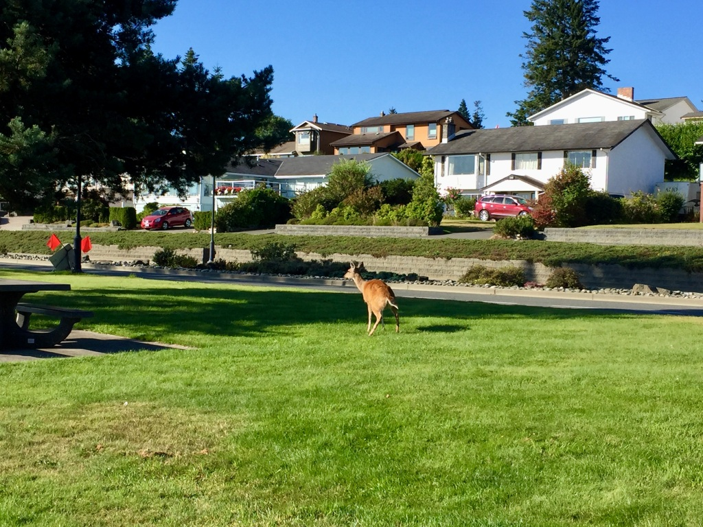 August, 2020 - Campbell River, Vancouver Island, British Columbia - Deer along my morning run - mama having a pee! I've never seen a deer pee!