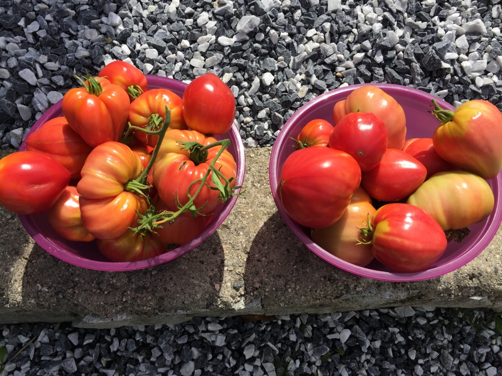 August, 2020 - Campbell River, Vancouver Island, British Columbia - Garden's tomato harvest