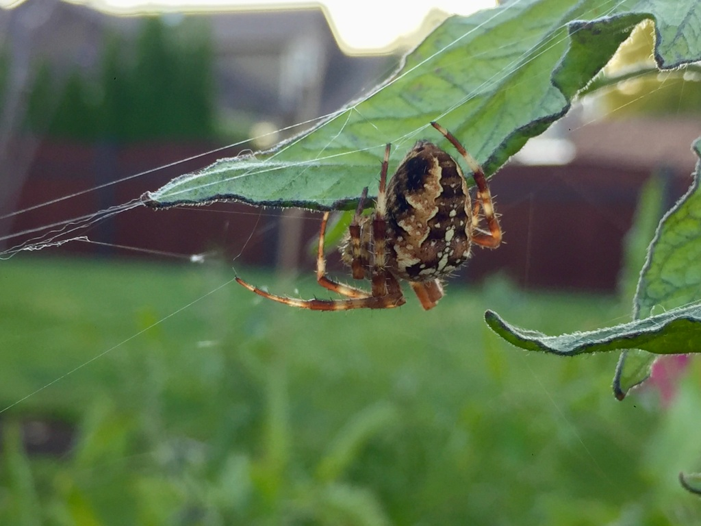 August/September, 2020 - Campbell River, Vancouver Island, British Columbia - Spider in the garden