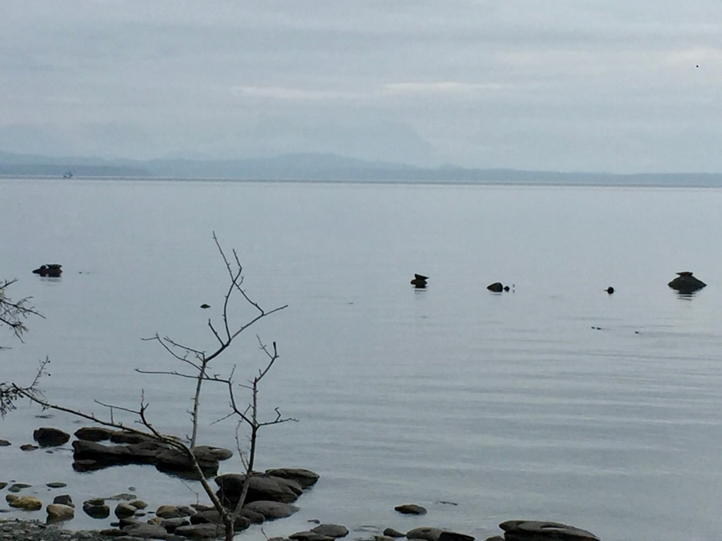 August/September, 2020 - Campbell River, Vancouver Island, British Columbia - Seawalk Beach - Harbour Seals on the rocks
