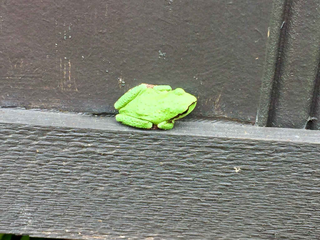 August/September, 2020 - Campbell River, Vancouver Island, British Columbia - Tree Frog
