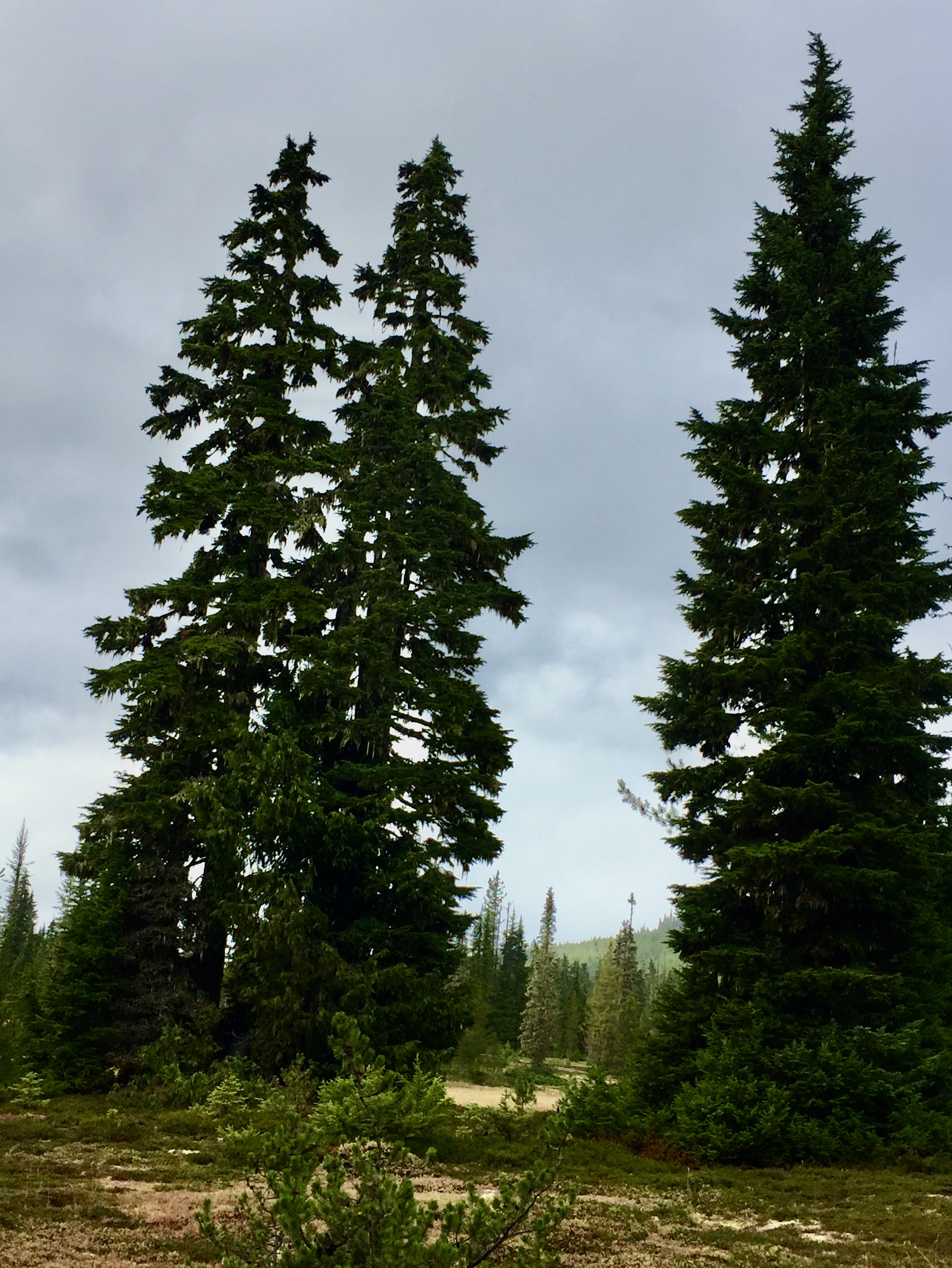 September, 2020 - Vancouver Island, British Columbia - Strathcona Provincial Park - Forbidden Plateau - Alpine trees
