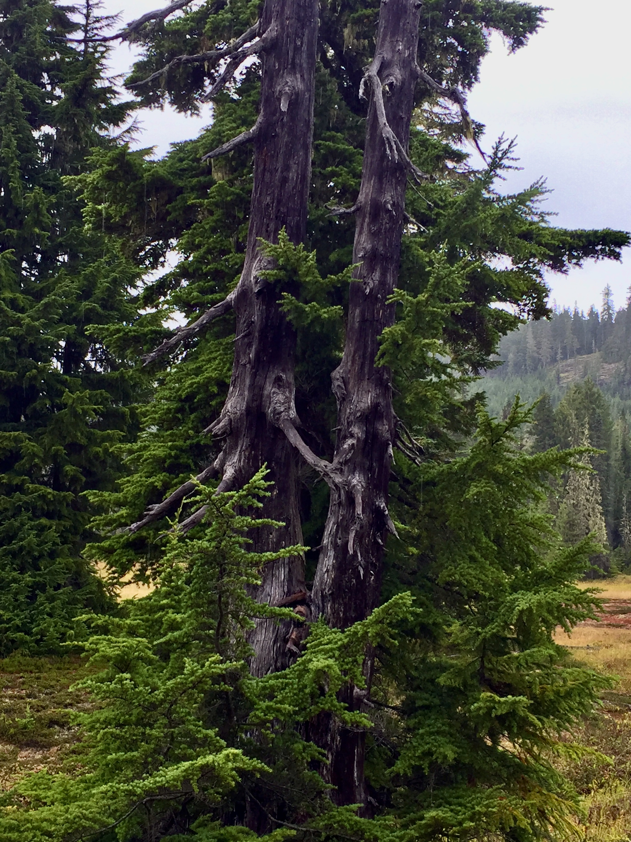 September, 2020 - Vancouver Island, British Columbia - Strathcona Provincial Park - Forbidden Plateau - Interesting trees!