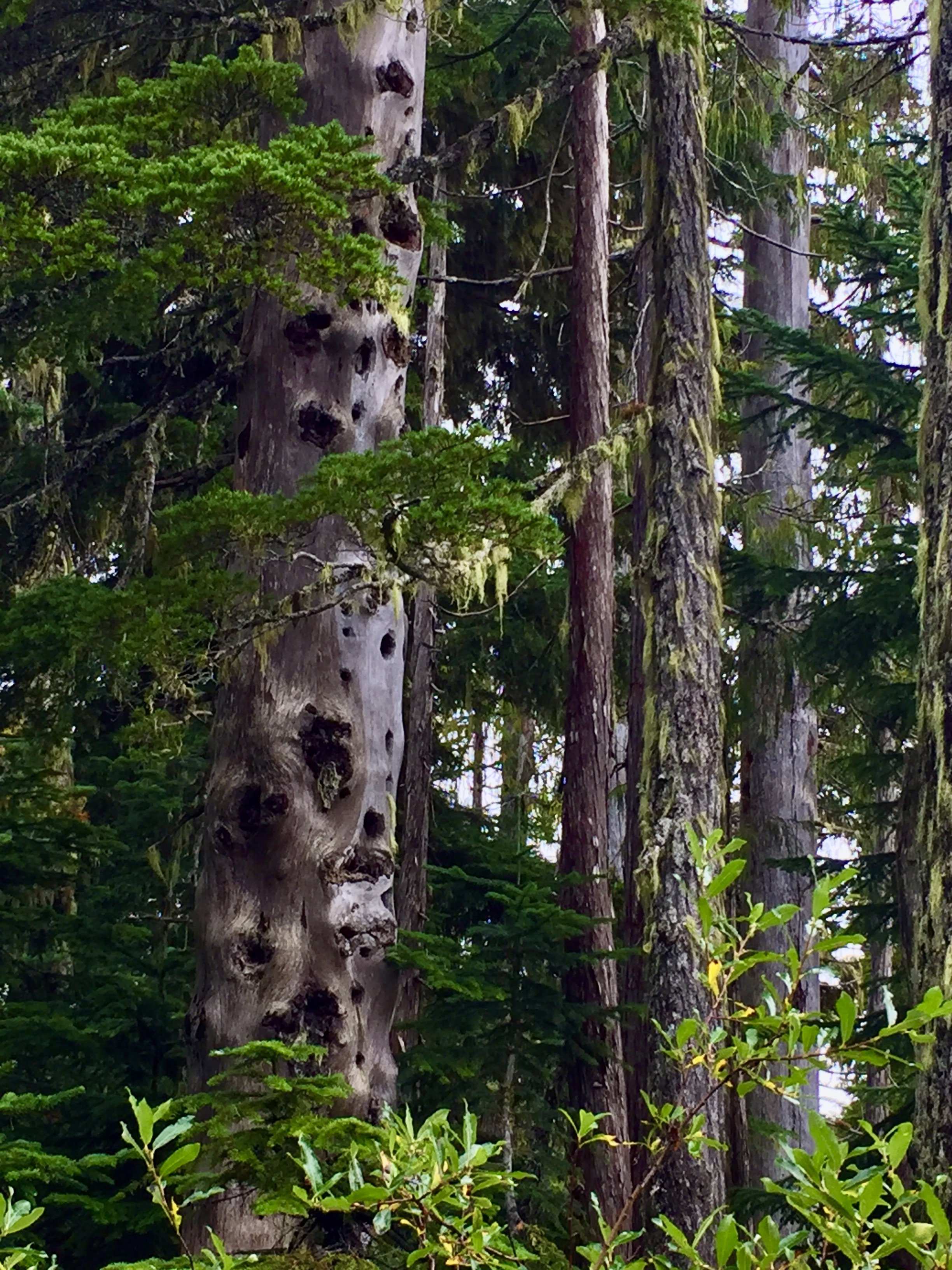 September, 2020 - Vancouver Island, British Columbia - Strathcona Provincial Park - Forbidden Plateau - Interesting tree!