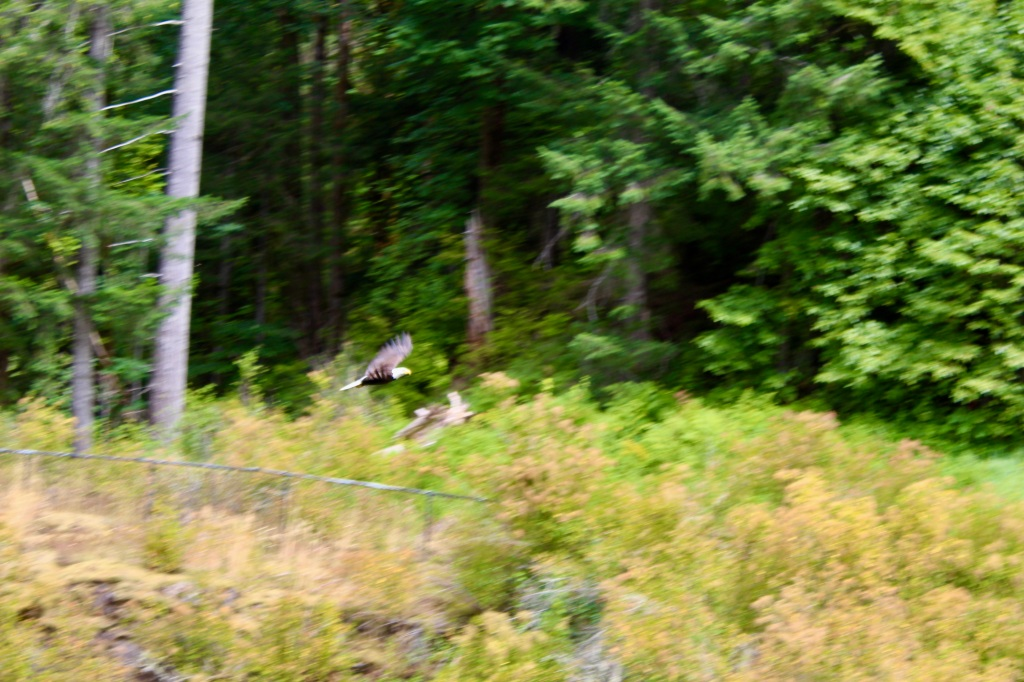July, 2020 - Campbell River, Vancouver Island, British Columbia - Elk Falls Provincial Park - Bald eagle flying past me!