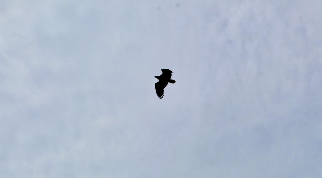 July, 2020 - Campbell River, Vancouver Island, British Columbia - Elk Falls Provincial Park - Bald eagle above me!