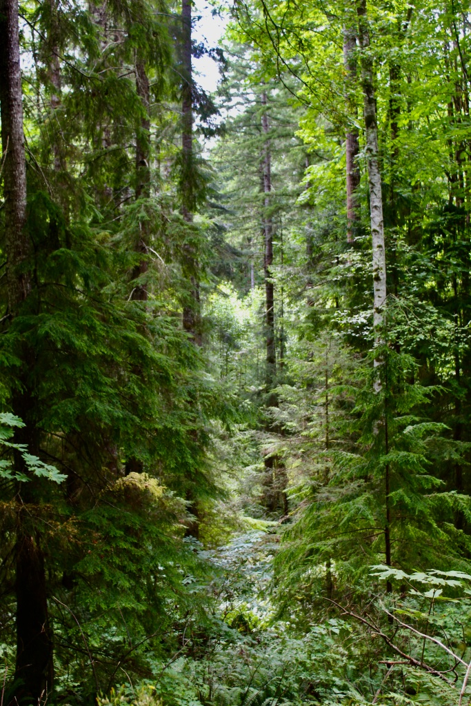July, 2020 - Campbell River, Vancouver Island, British Columbia - Elk Falls Provincial Park - Thousand shades of green!