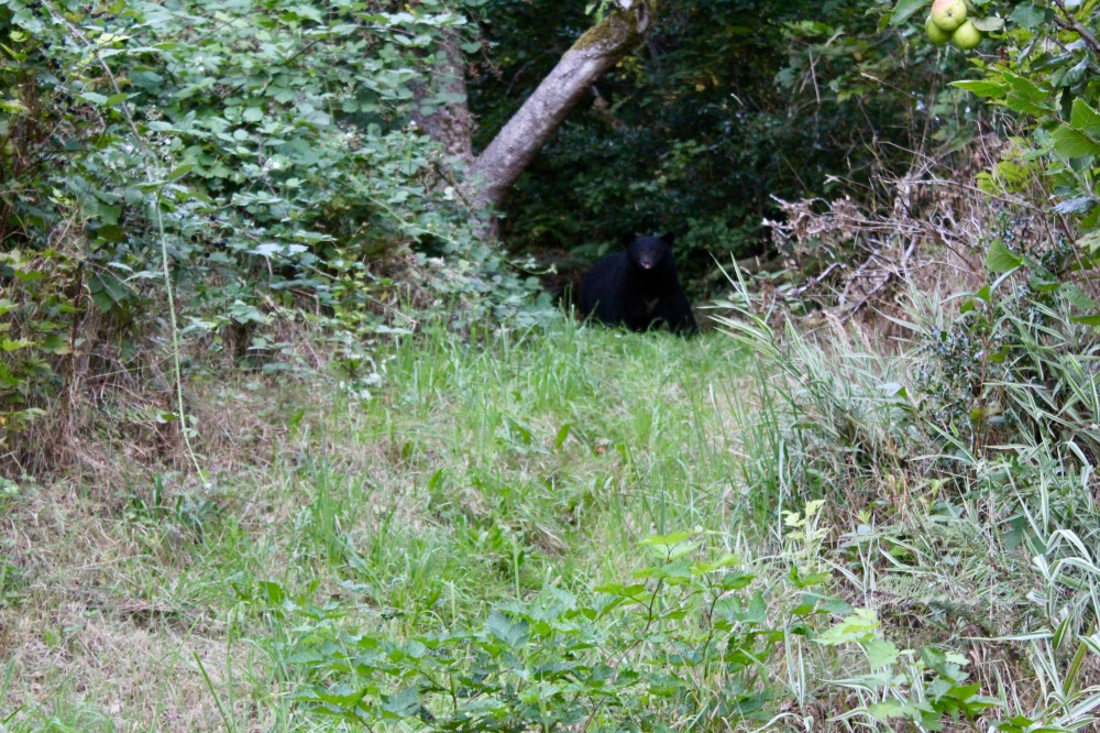 September, 2020 - Hecate Cove, Vancouver Island, British Columbia - Black Bear in our backyard