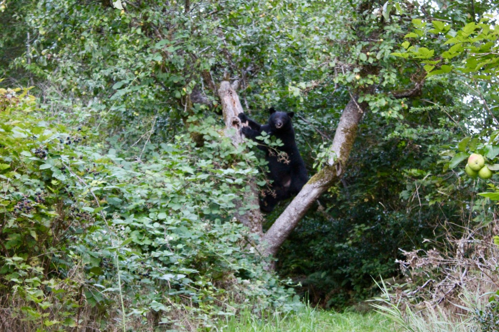September, 2020 - Hecate Cove, Vancouver Island, British Columbia - Black Bear in our backyard - going up the apple tree