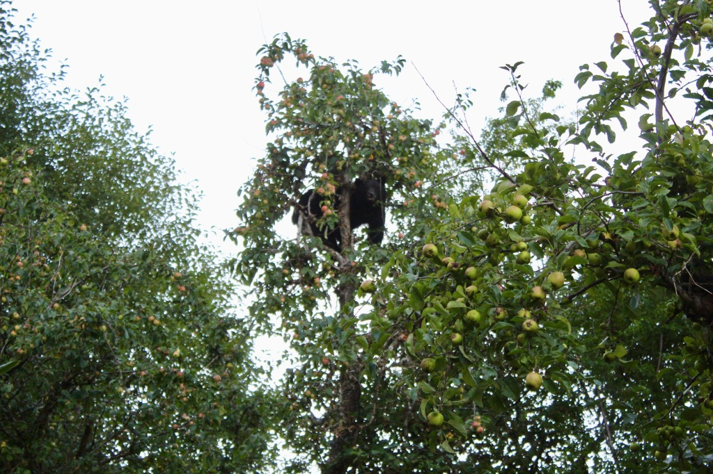 September, 2020 - Hecate Cove, Vancouver Island, British Columbia - Black Bear in our backyard - up, in the apple tree