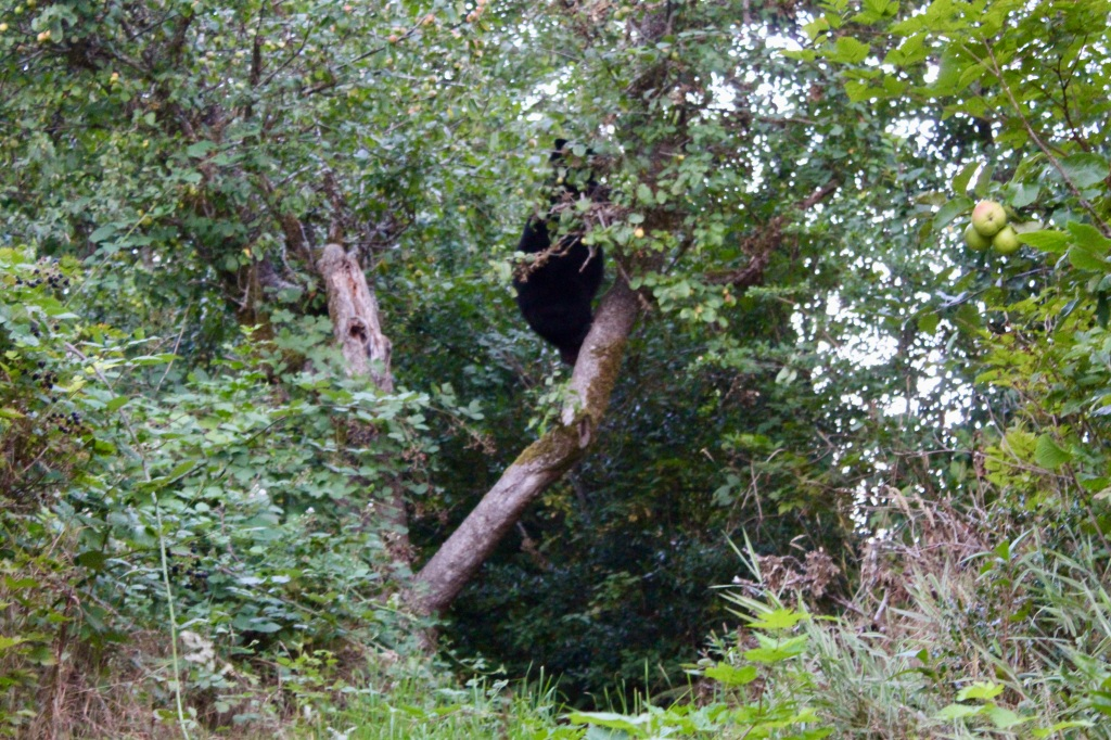 September, 2020 - Hecate Cove, Vancouver Island, British Columbia - Black Bear in our backyard - descending the tree