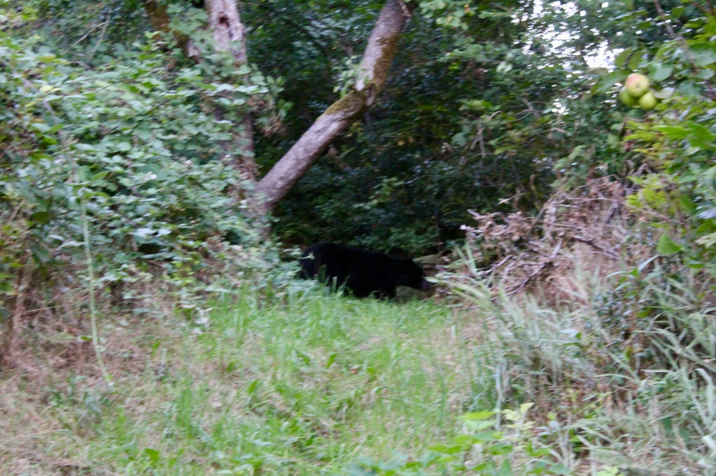 September, 2020 - Hecate Cove, Vancouver Island, British Columbia - Black Bear in our backyard - leaving...