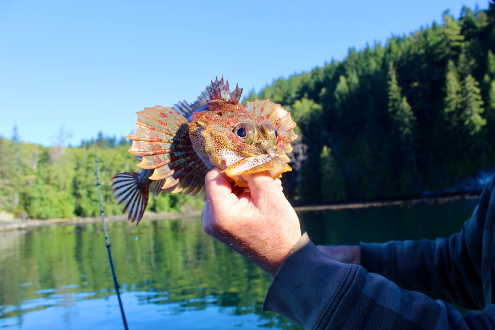 September, 2020 - Quatsino Sound, Vancouver Island, British Columbia - Our friend and host Don, an experienced fishermen knew how to handle this fish to avoid its spiny, protective exterior.