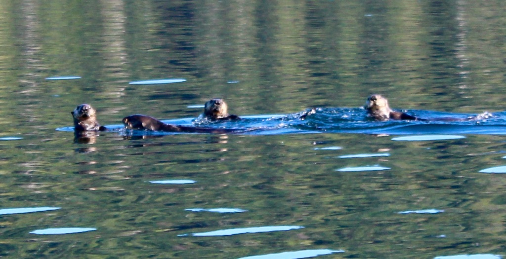 September, 2020 - Quatsino Sound, Vancouver Island, British Columbia - Sea Otters