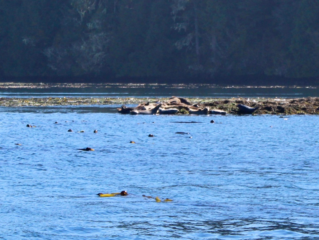 September, 2020 - Quatsino Sound, Vancouver Island, British Columbia - Harbour seals sunning themselves on rocks