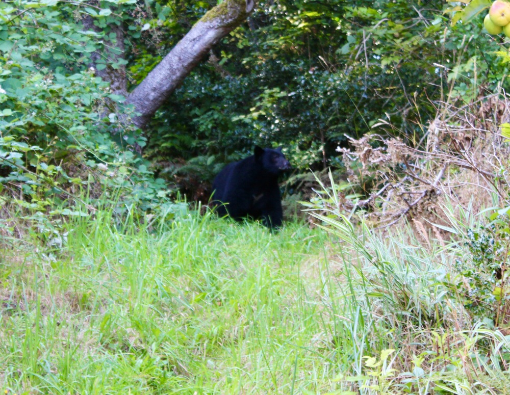 September, 2020 - Hecate Cove, Vancouver Island, British Columbia - The neighborhood, apple eating black bear returns to raid the apple trees!