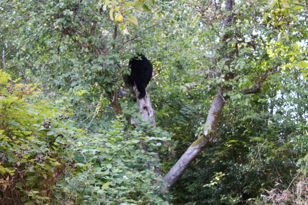September, 2020 - Hecate Cove, Vancouver Island, British Columbia - Black Bear in our backyard - Second visit - Going up the apple tree