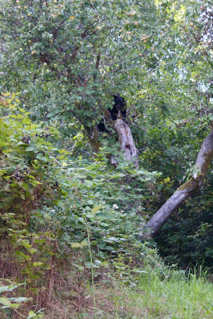 September, 2020 - Hecate Cove, Vancouver Island, British Columbia - Black Bear in our backyard - Second visit - Going up the apple tree - Stopping to take a look at us