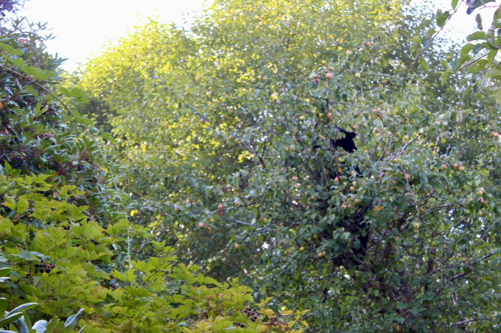 September, 2020 - Hecate Cove, Vancouver Island, British Columbia - Black Bear in our backyard - Second visit - Settling in and eating some apples!