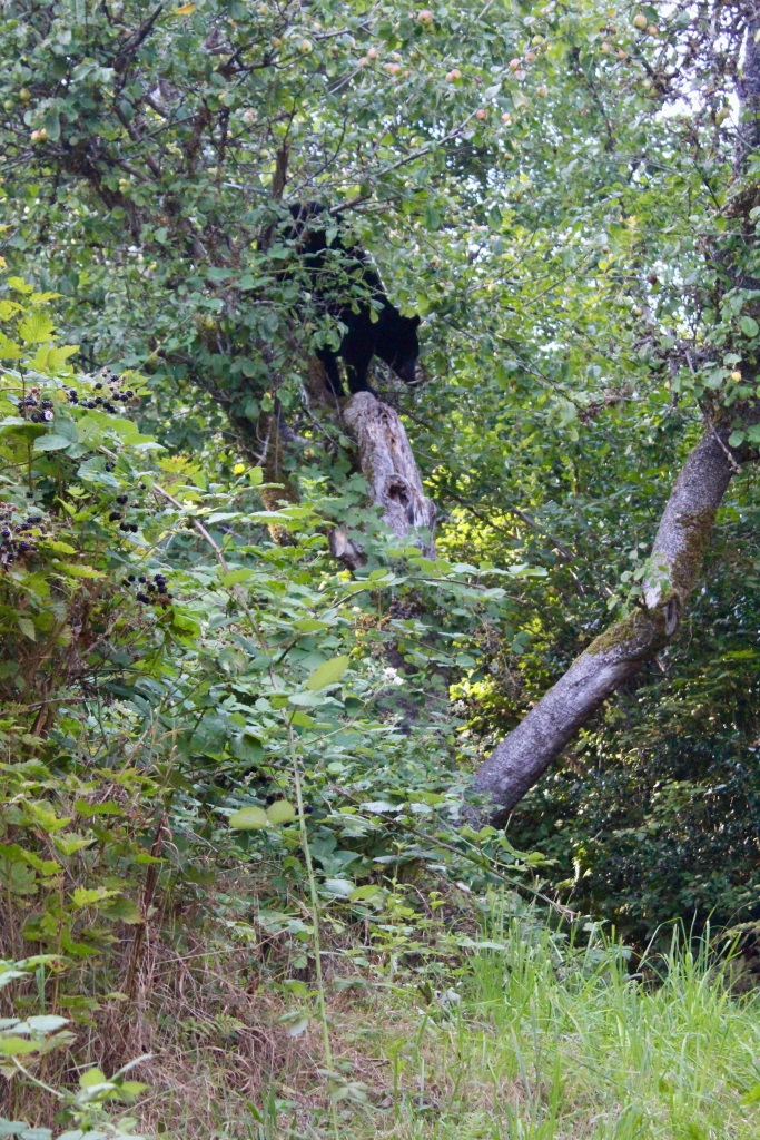 September, 2020 - Hecate Cove, Vancouver Island, British Columbia - Black Bear in our backyard - Second visit - Descending the tree