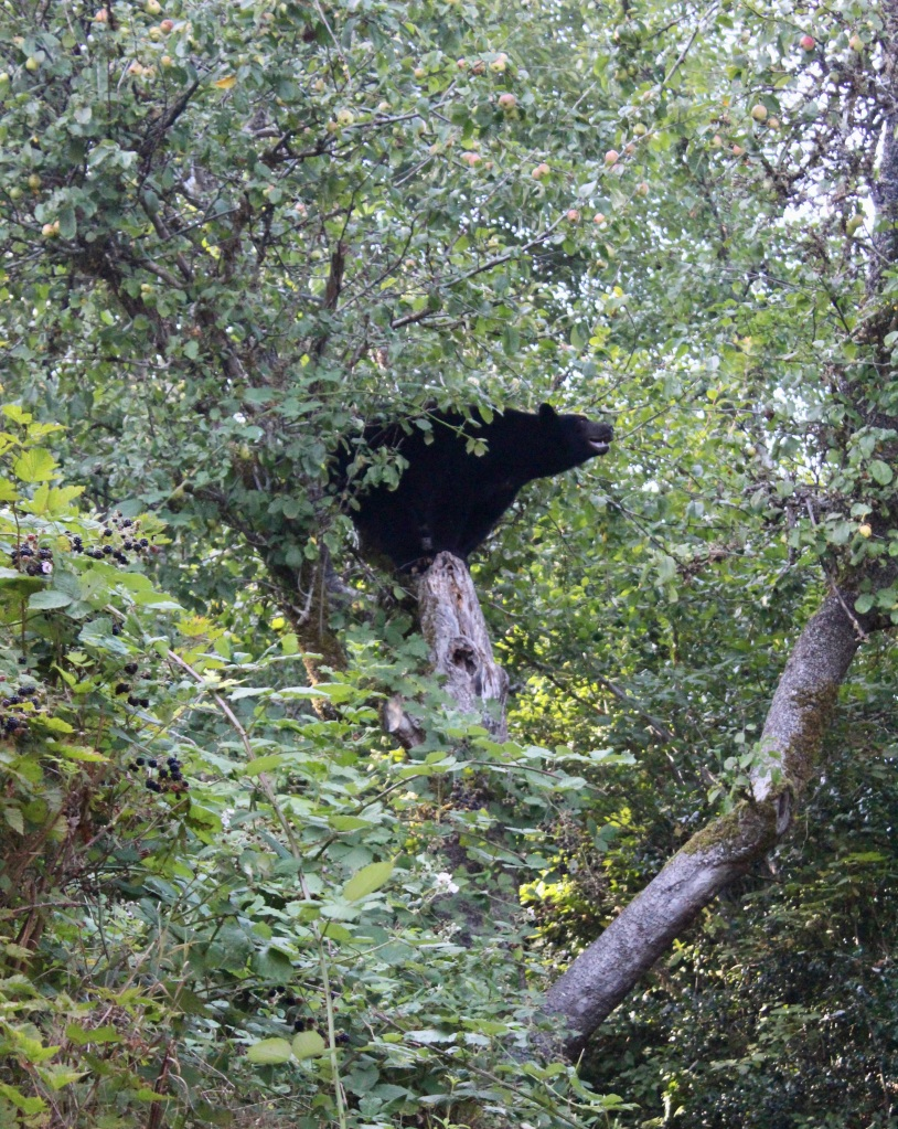 September, 2020 - Hecate Cove, Vancouver Island, British Columbia - Black Bear in our backyard - Second visit - Assessing his next move