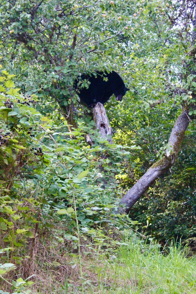 September, 2020 - Hecate Cove, Vancouver Island, British Columbia - Black Bear in our backyard - Second visit - Up or down?