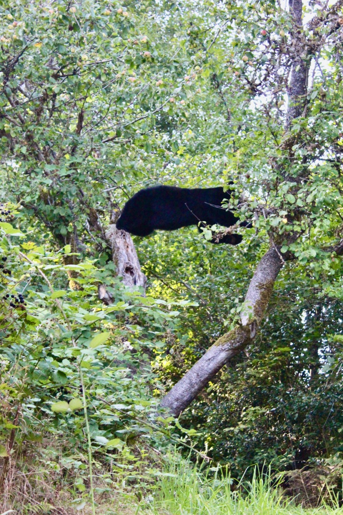 September, 2020 - Hecate Cove, Vancouver Island, British Columbia - Black Bear in our backyard - Second visit - How about jumping across!