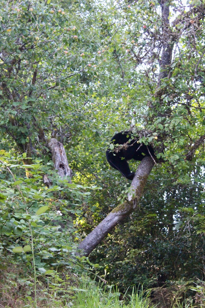 September, 2020 - Hecate Cove, Vancouver Island, British Columbia - Black Bear in our backyard - Second visit - Landing