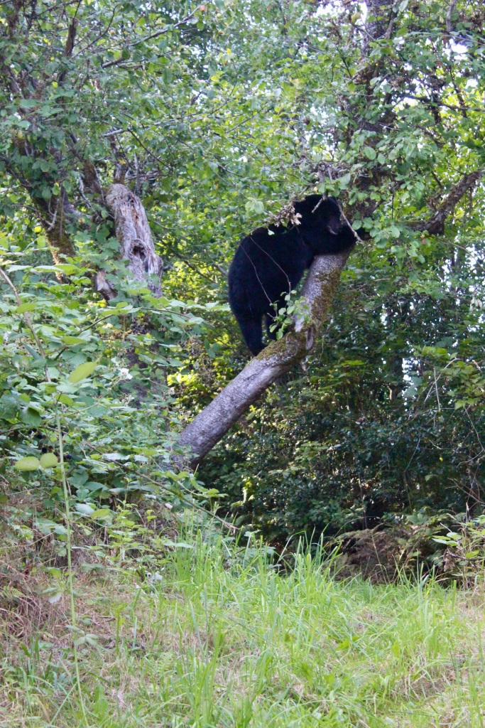 September, 2020 - Hecate Cove, Vancouver Island, British Columbia - Black Bear in our backyard - Second visit - Ascending this apple tree!
