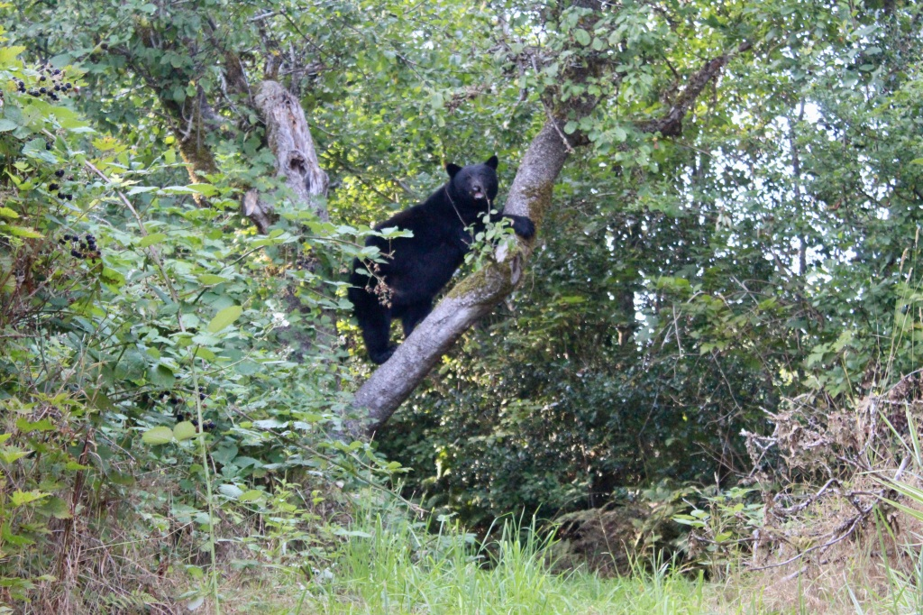 September, 2020 - Hecate Cove, Vancouver Island, British Columbia - Black Bear in our backyard - Second visit - Maybe not...