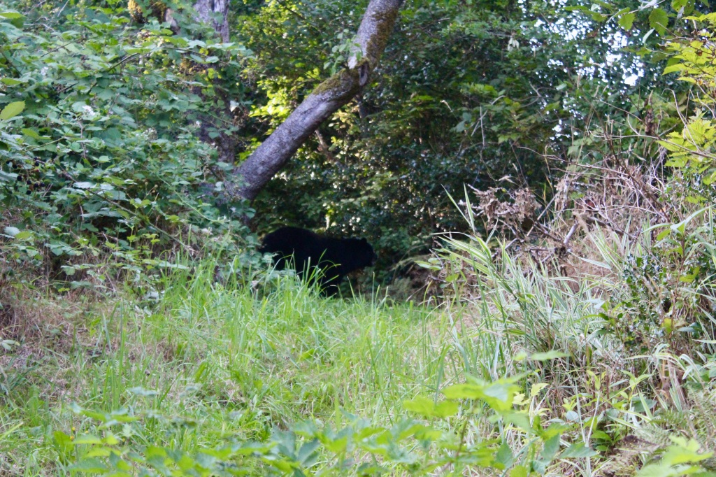 September, 2020 - Hecate Cove, Vancouver Island, British Columbia - Black Bear in our backyard - Second visit - Leaving...