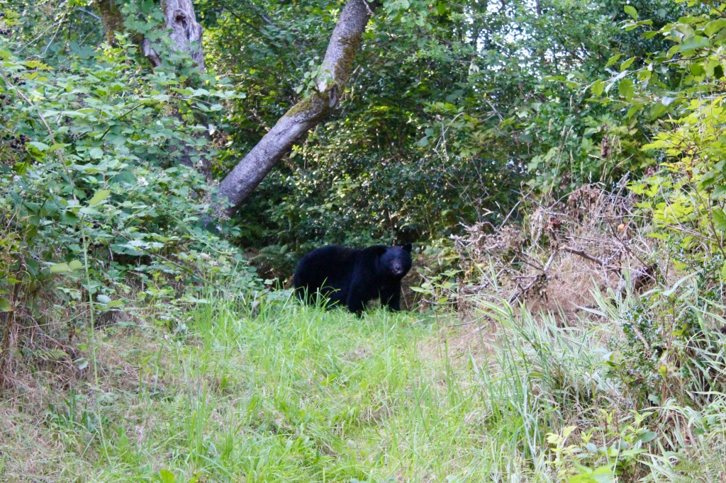 September, 2020 - Hecate Cove, Vancouver Island, British Columbia - Black Bear in our backyard - Second visit - One last look...
