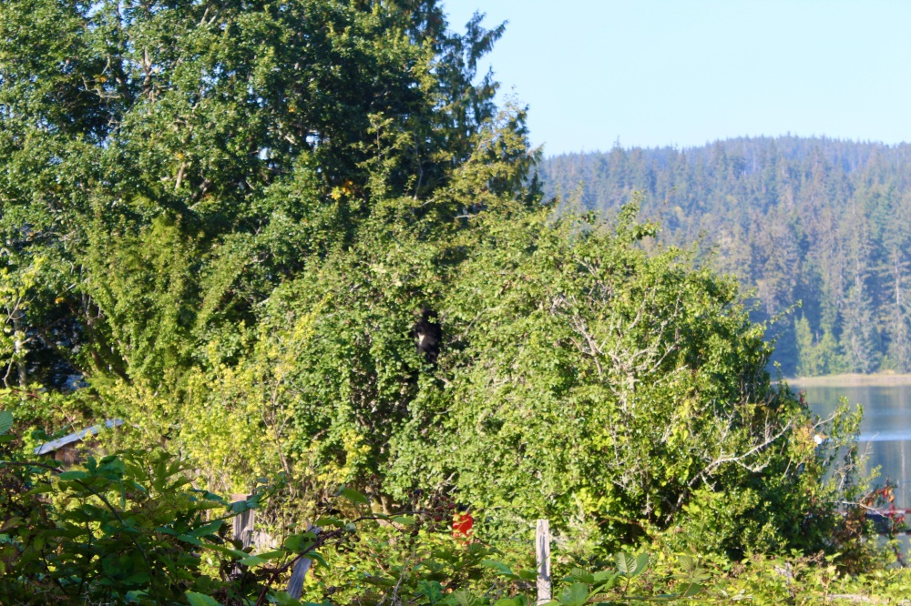 September, 2020 - Hecate Cove, Vancouver Island, British Columbia - The neighborhood, apple eating black bear returns to raid the apple trees - now next door, in the neighbor's apple tree!