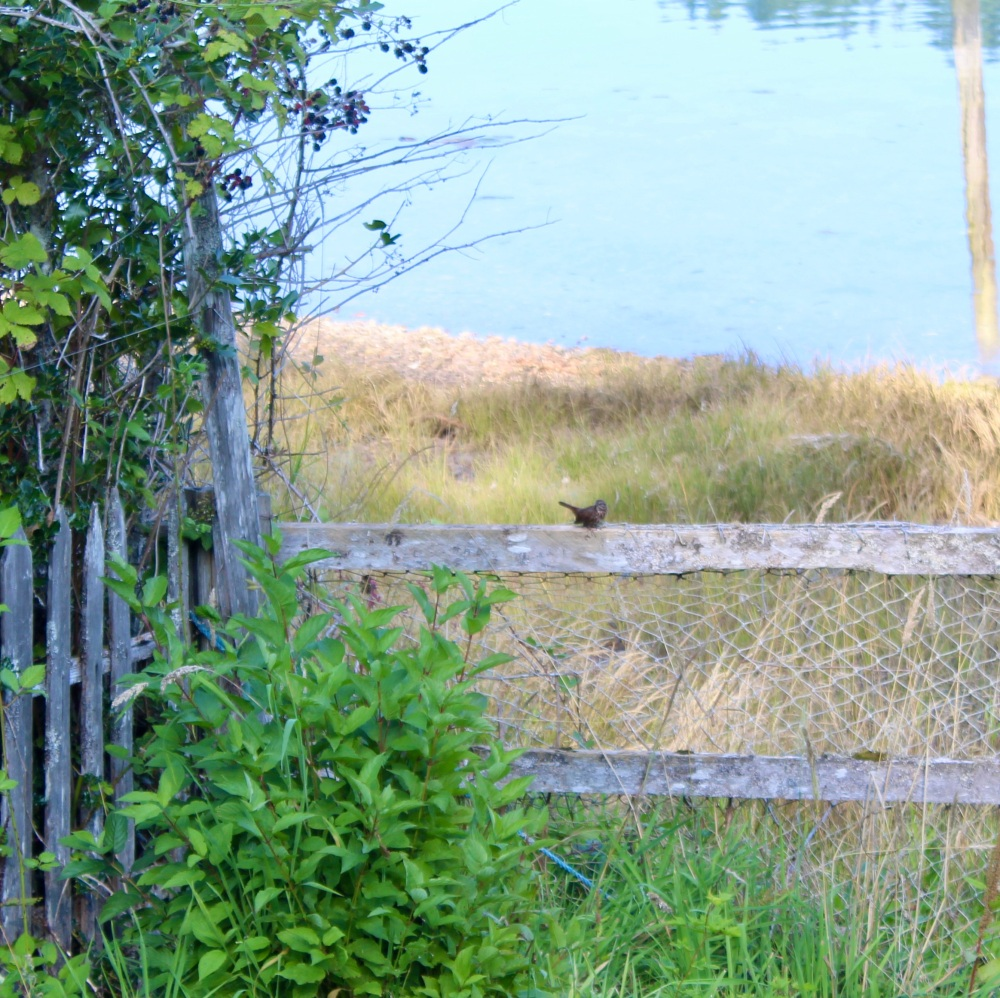 September, 2020 - Hecate Cove, Vancouver Island, British Columbia - Small bird on the fence