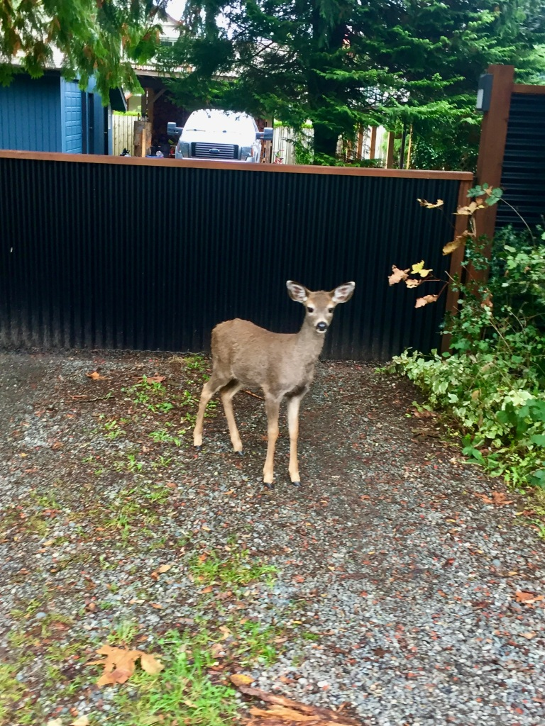 Campbell River, Vancouver Island, British Columbia - Young deer watches me as I walk past her
