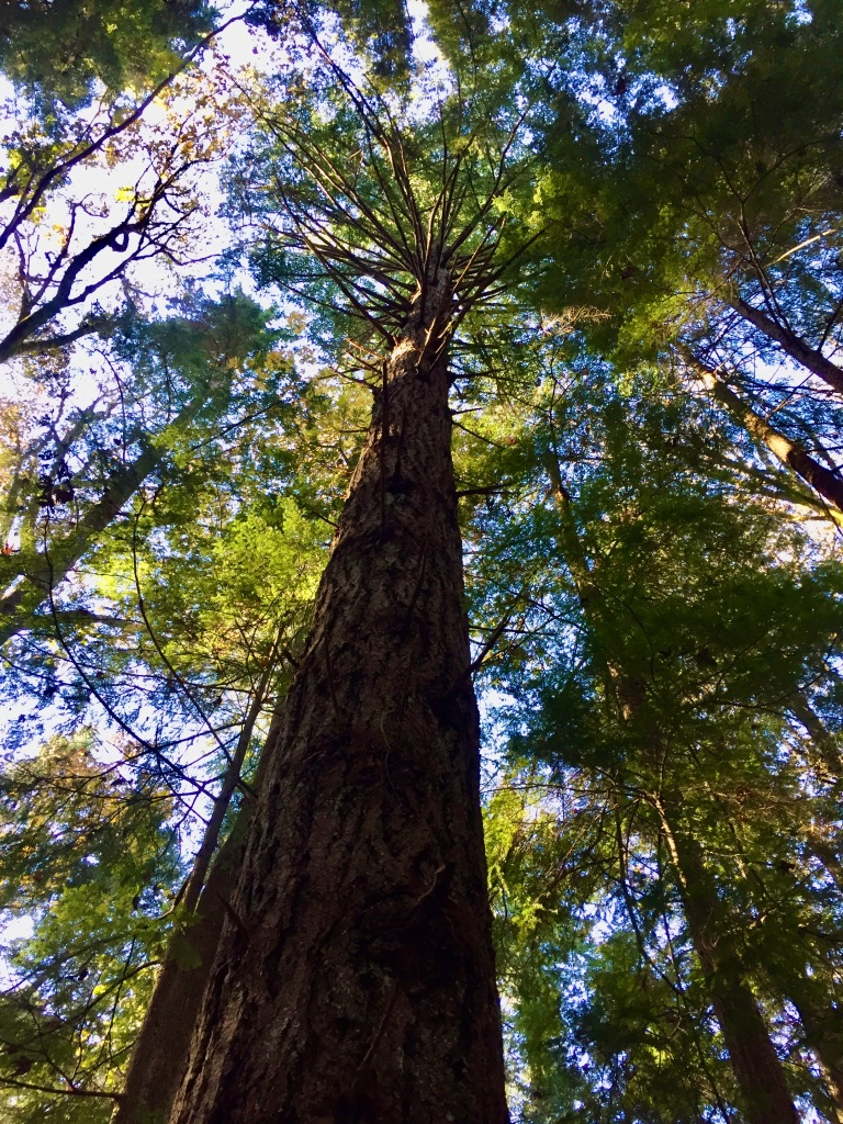 Oyster River, Vancouver Island, British Columbia - Tall trees