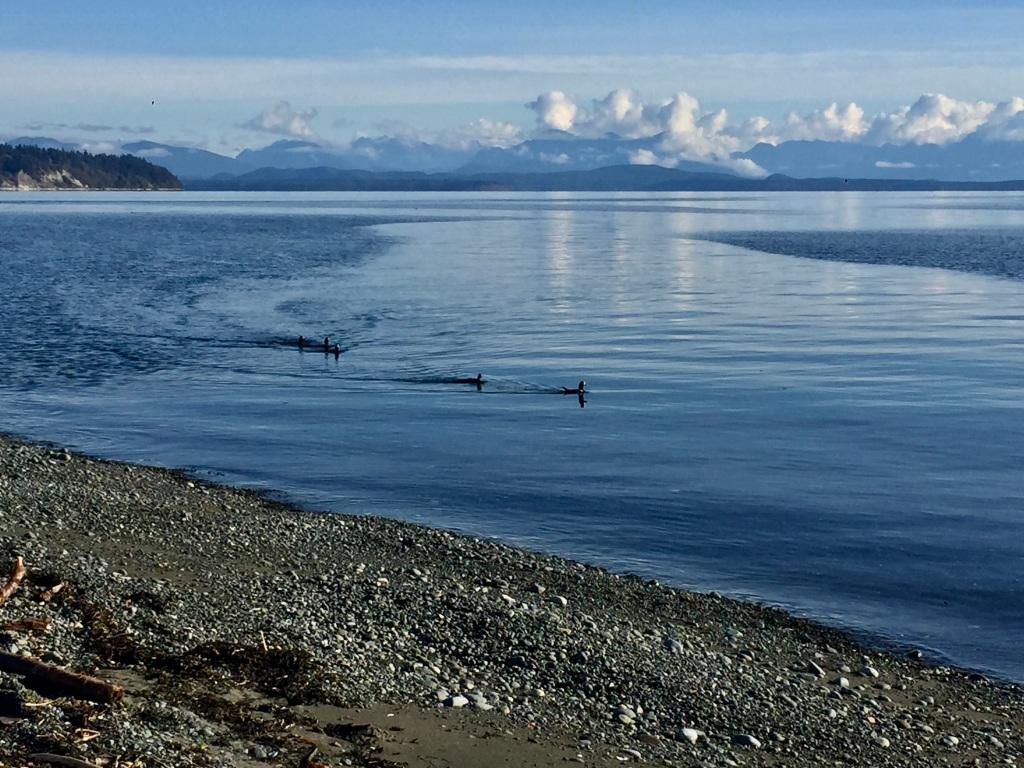 Campbell River, Vancouver Island, British Columbia - Ducks - SeaWalk Beach
