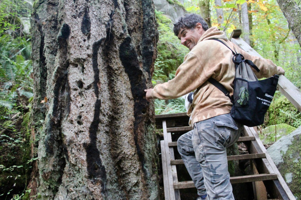 Vancouver Island, British Columbia - Ripple Rock Trail - Lightening strike mark on a tree