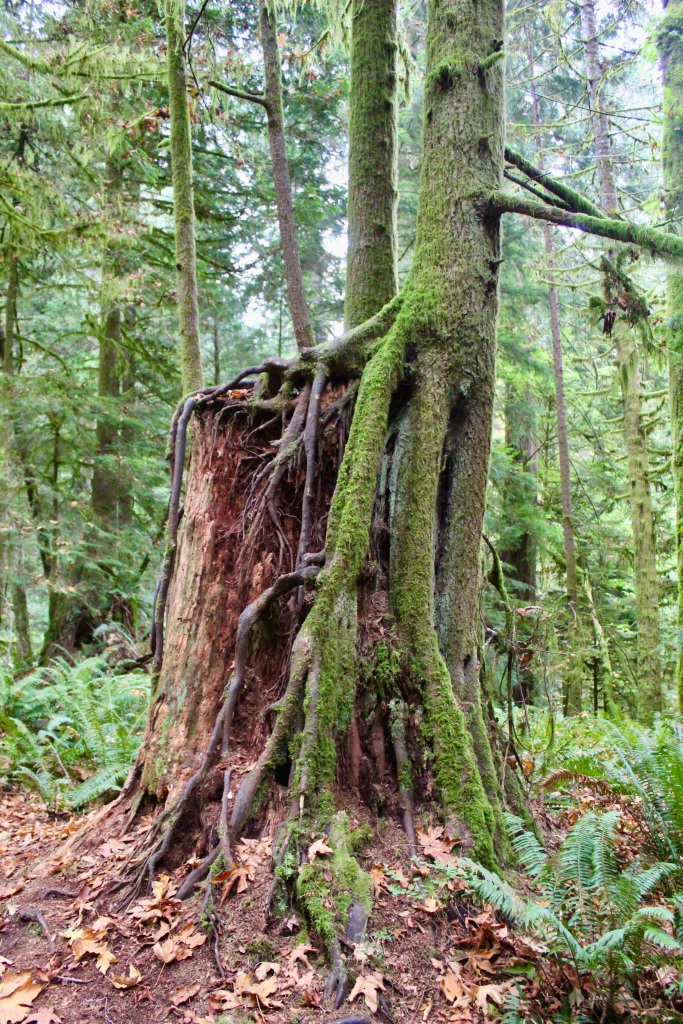 Vancouver Island, British Columbia - Ripple Rock Trail - Tree growing on a tree stump!