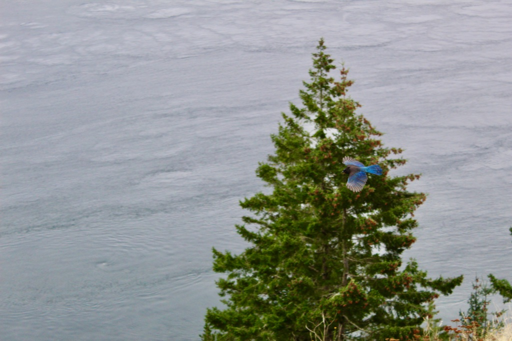 Vancouver Island, British Columbia - Ripple Rock - Steller's Jay - Provincial Bird of British Columbia