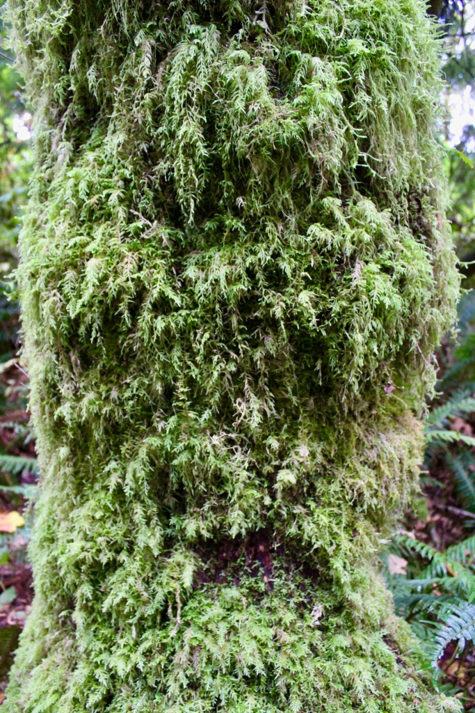 Vancouver Island, British Columbia - Ripple Rock Trail - Tree moss