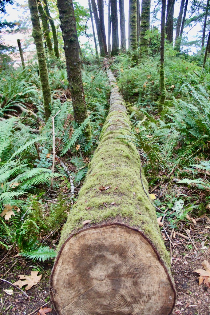 Vancouver Island, British Columbia - Ripple Rock Trail - Loonngg tree...