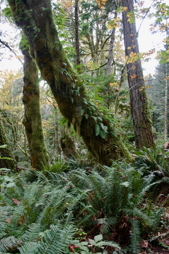 Vancouver Island, British Columbia - Ripple Rock Trail - Fern growing from the tree
