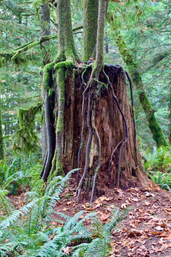 Vancouver Island, British Columbia - Ripple Rock Trail - Trees growing on tree trunk