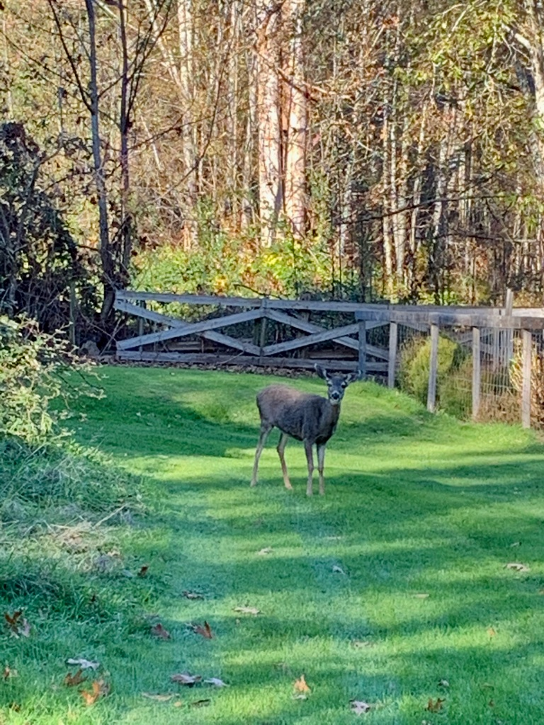 Campbell River, Vancouver Island, British Columbia - Douglas Rd - Young deer.