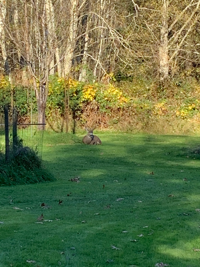 Campbell River, Vancouver Island, British Columbia - Douglas Rd - Young buck.