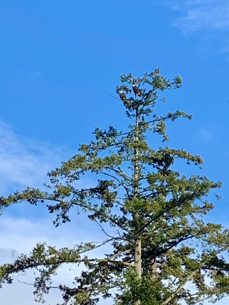 Campbell River, Vancouver Island, British Columbia - Pair of bald eagles at Discovery Foods on the Island Highway.