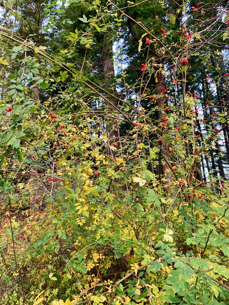 November 14th - Campbell River, Vancouver Island, British Columbia - Red berries.
